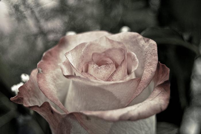 Rose drama